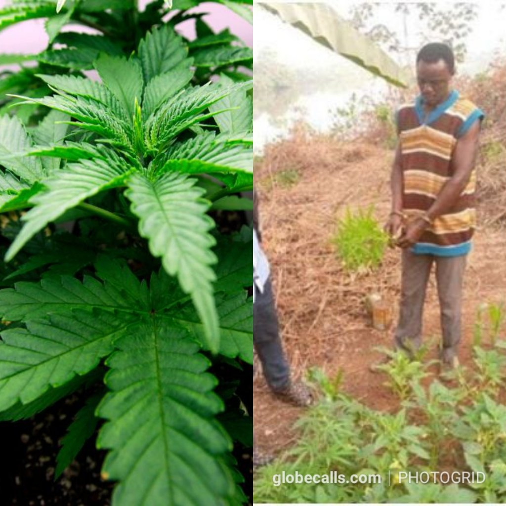 'Weed' Farm Discovered In A Secondary School 2 » Best Tech News, Gadgets, FinTech and Telco news.