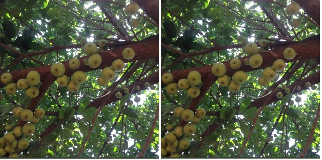 'Apple' tree in Wiamoase Turns Out To Be Fig Tree 2 » Best Tech News, Gadgets, FinTech and Telco news.