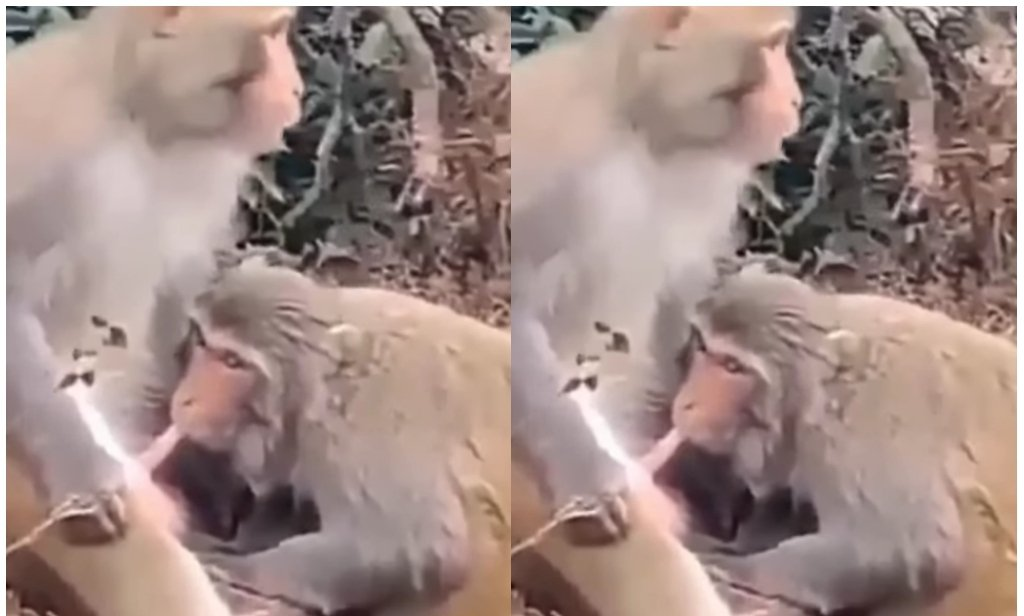 Video: Two Monkeys Spotted Practicing 'Blowjob' 2 » Best Tech News, Gadgets, FinTech and Telco news.
