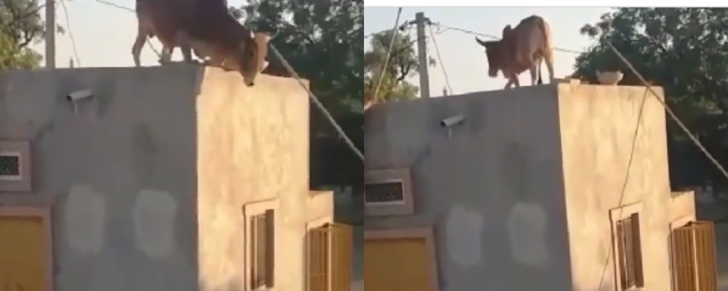 Xmas Cow Refuses Knife 'Flies' To The Roof.