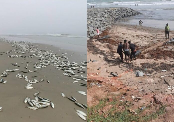 Dolphins Swept Ashore Across The Shores Of Ghana