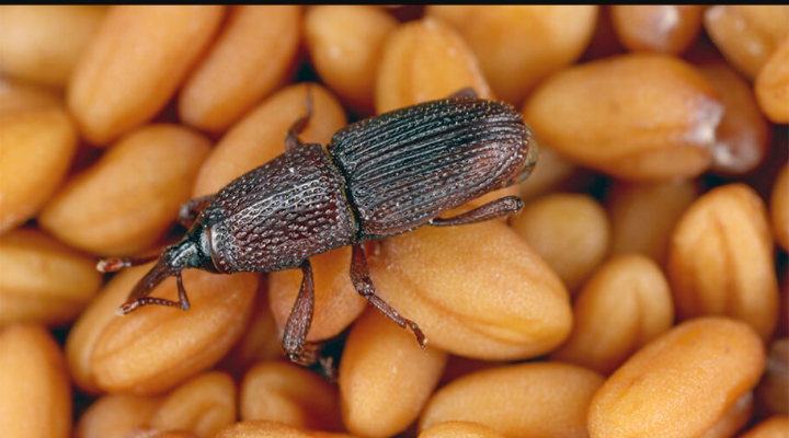 How To Prevent Weevils From Attacking Foodstuffs